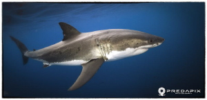 Meet Moo!!!, This 4+ Metre male Great White shark has ret... by Sam Cahir 
